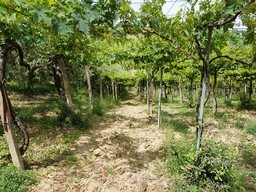 12,000 sqm of vines and olives to build a villa of 200sqm with sea and mountain views.1
