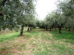 3800sqm of olive grove, 2km from the beach, to build 300sqm Villa2
